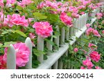Pink Climbing Roses On Picket...