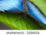 Common Morpho Butterfly On A...