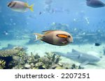 Small photo of Orange-spot Surgeonfish (Acanthurus olivaceus) swimming over coral reef.