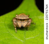 Small photo of Jumping Spider Rhene on leaf tree