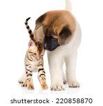 Stock photo akita inu puppy dog sniffs bengal kitten isolated on white background 220858870