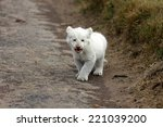 A Isolated Young White Lion Cu...