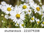 Close View Of Daisy Blossoms...