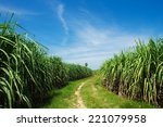 Sugarcane Field And Road With...