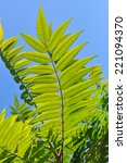 Small photo of Aylantus leaves. Ailanto Branches, Tree of Heaven. Ailanthus altissima.