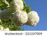Snowball Bush  European...