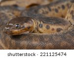 Small photo of Elephant trunk snake / Acrochordus javanicus
