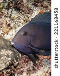 Small photo of SUDAN, Red Sea, U.W. photo, Surgeonfish (Acanthurus gahhm) - FILM SCAN