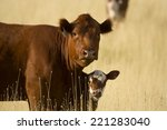 A Mother Cow And Her Calf Stan...