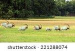 Scimitar Horned Oryx Antelope...