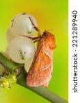 triodia sylvina | Shutterstock . vector #221289940