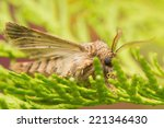tholera decimalis | Shutterstock . vector #221346430