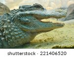 Close Up Of Chinese Alligator ...