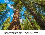 Giant Sequoias In The Sequoia...