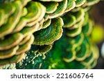 Mushrooms Growing On Pine Stum...