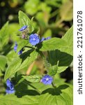 Small photo of Green Alkanet - Pentaglottis sempervirens Blue flower of hedgerows