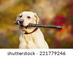 Stock photo labrador retriever with wooden stick in autumn nature 221779246