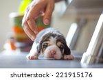 New Born Puppy   Beagle Dog