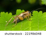 Small photo of Acridoidea Cricket