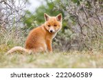 Stock photo red fox cub 222060589