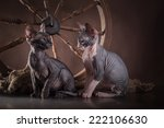 canadian sphynx in a rustic...   Shutterstock . vector #222106630
