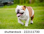Stock photo english bulldog 222111730