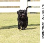 Small photo of A small young black Affenpinscher dog with a short shaggy wire coat walking on the grass. The Affie looks like a monkey and is an active, adventurous, curious, stubborn, fun-loving and playful breed.