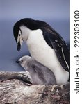 Chick And Chinstrap Penguin ...