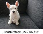 Stock photo puppy west highland white terrier 222439519