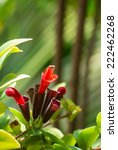 Small photo of Red Lipstick Flower. Lipstick Plant (Aeschynanthus radicans jack)