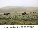 Herd Of  Wild Bison Or Buffalo...
