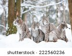 Lynx Family With Four Bobcats...