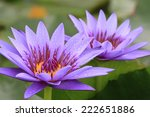 Water Lily Flowers Closeup Of...