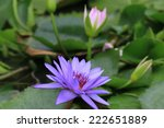 Water Lily Flowers And Buds...