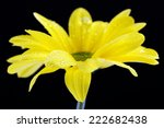 Water Drops On Yellow Flower O...