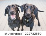 Two Black Labrador Retriever...