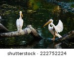Group Of Great White Pelicans...