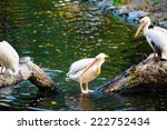 group of great white pelicans... | Shutterstock . vector #222752434
