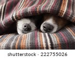 Stock photo couple of dogs in love sleeping together under the blanket in bed 222755026