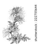 Hand Drawing Chrysanthemum...