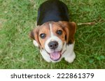 Stock photo beagle puppy sitting on green grass 222861379