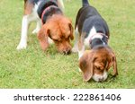 Beagle Dogs Sniffing In Green...