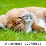 Stock photo closeup sleeping bordeaux puppy dog hugs newborn kitten on green grass 222958513