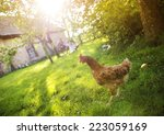 happy free hen in garden near...