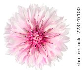 Pink Cornflower Flower Isolate...