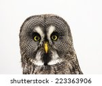 Stock photo portrait of great grey owl or lapland owl strix nebulosa isolated on a white background 223363906