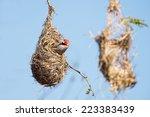 A Male Red Headed Finch Lookin...