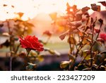 Stock photo red rose in the garden 223427209