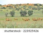 Red Hartebeest Herd In The...