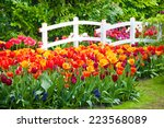 Tulips And A Bridge In...